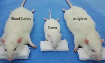 Transplant-Rats